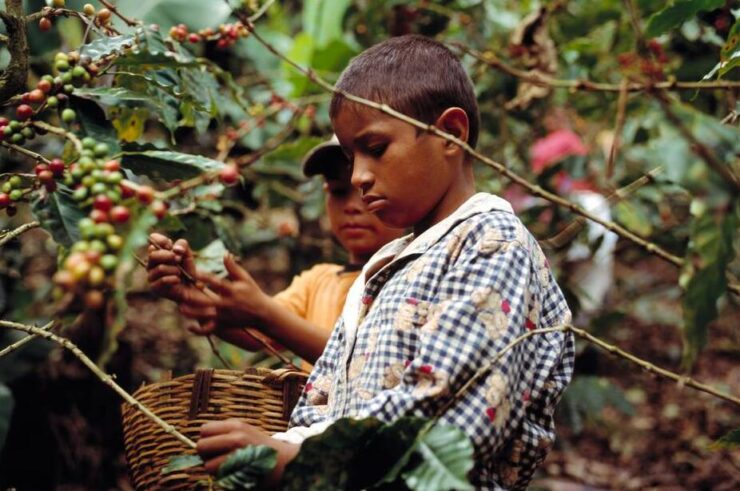 Nicaragua Children in the coffee harvest